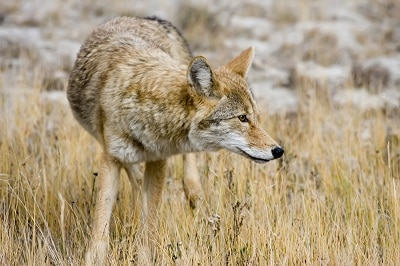 best coyote bait for most situations