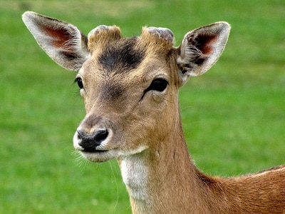 A deer with shed antlers